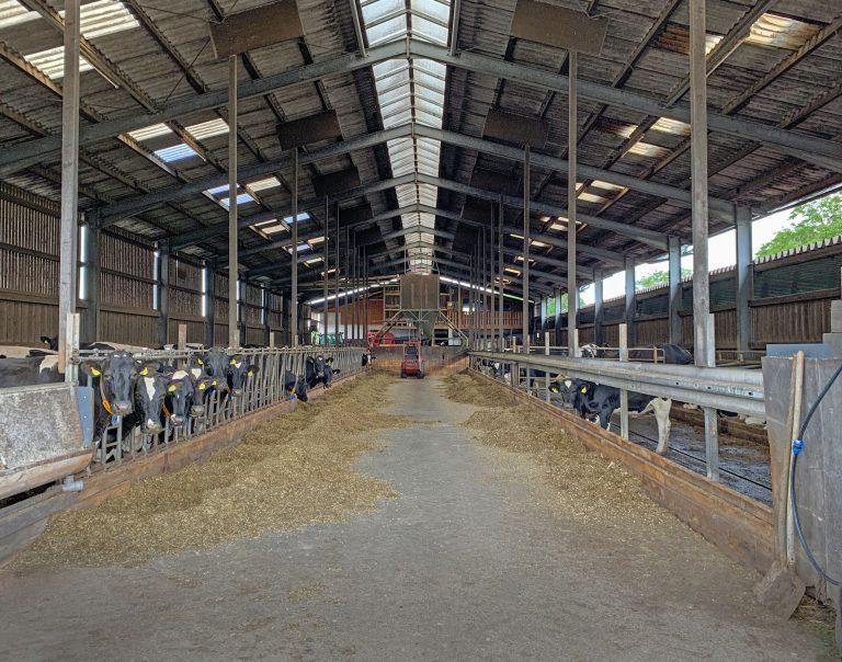 Kühe nach Sprengung in einem Kuhstall