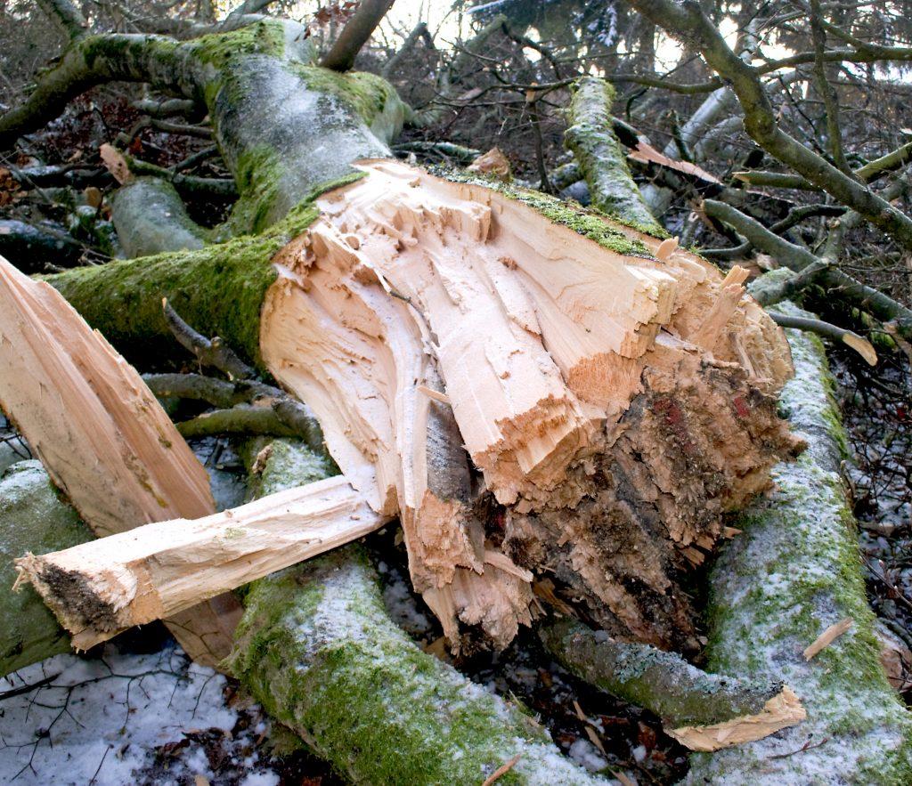 Sprengung Baumstamm (gelatinöser Sprengstoff)